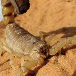 Acidentes com escorpiões aumentam e preocupam